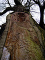 Ancient Sweet Chestnut in Studley Deer Park - geograph.org.uk - 137721.jpg