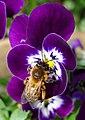 Andrena nigroaenea - Flickr - gailhampshire.jpg