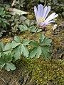 Anemone blanda RHu.JPG