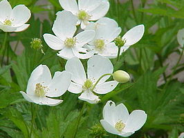 Anemone canadensis