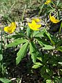 Anemone ranunculoides sl1.jpg