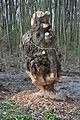 Angenagter Baumstumpf von Bibern.jpg
