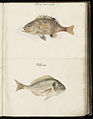 Animal drawings collected by Felix Platter, p1 - (73).jpg