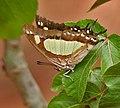 Anomalous Nawab (Polyura agraria) on Jatropha species in Hyderabad W IMG 7149.jpg
