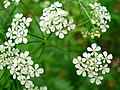 Anthriscus sylvestris 002.JPG