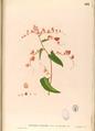 Antigonon cordatum Blanco2.462-original.png