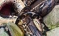 Apareamiento de pitones de la India (Python molurus), Zoo de Ciudad Ho Chi Minh, Vietnam, 2013-08-14, DD 02.JPG