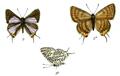 AphnaeusLilacinus 735 3 Fitch.png