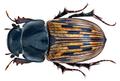 Aphodius (Acrossus) luridus (Fabricius, 1775) (15108549808).png