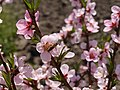 Apis melifera on peach flowers.JPG