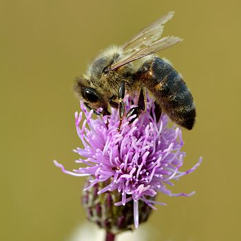 Honey bee and creeping thistle