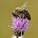 Apis mellifera - Cirsium arvense - Keila.jpg
