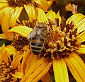 Apis mellifera - Flickr - gailhampshire.jpg