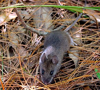 Taiwan field mouse A species of rodent in the family Muridae found only in Taiwan