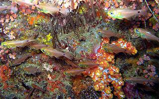 <i>Ostorhinchus fleurieu</i> species of fish
