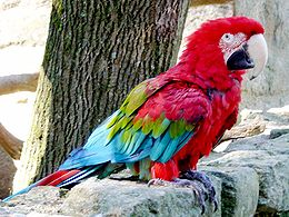 ABC sorrendben: madárnevek - képes játék - Page 4 260px-Ara_chloroptera