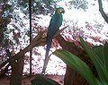 Ara glaucogularis macaw IGZoopark Visakhapatnam.jpg