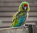 Ara militaris -Whipsnade Zoo, Bedfordshire, England-8a.jpg