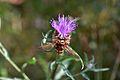 Araignées, insectes et fleurs de la forêt de Moulière (Les Chirons Noirs) (28426108663).jpg