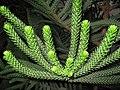 Araucaria Columnaris.Serres d'Auteuil 001.jpg