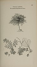 Arboretum et fruticetum britannicum, or - The trees and shrubs of Britain, native and foreign, hardy and half-hardy, pictorially and botanically delineated, and scientifically and popularly described (14783944905).jpg
