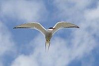 Arctic Tern-Sterna paradiseaea.jpg