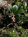 Arctostaphylos uva-ursi 37666.JPG