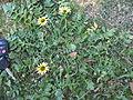 Arctotheca calendula plant1 (11767907004).jpg