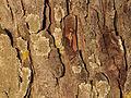 Ardagger - Naturdenkmal AM-071 - Kastanienbaum - Rinde I.jpg