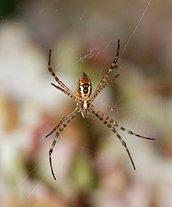 Argiope July 2012-2.jpg