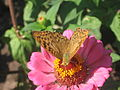 Argynnis pandora на цветке 2.jpg