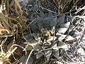Ariocarpus retusus (5703219405).jpg