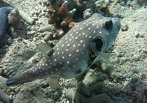 White-spotted puffer - Image: Arothron hispidus Réunion