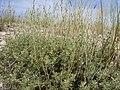 Artemisia arbuscula (5143709455).jpg