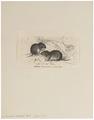 Arvicola arvalis - 1700-1880 - Print - Iconographia Zoologica - Special Collections University of Amsterdam - UBA01 IZ20500147.tif