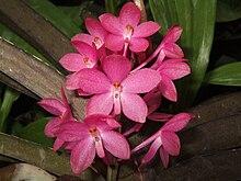 Ascocentrum Ampullaceum Indo Blossom