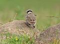 Ashy-crowned Sparrow Lark (Eremopterix grisea) W IMG 0759.jpg