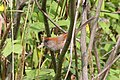Ashy-throated Parrotbill (Sinosuthora alphonsiana) (8077153987).jpg