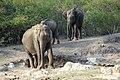 Asian Elephant (Elephas maximus) 01.jpg