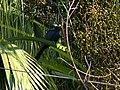 Asian Koel - Eudynamys scolopaceus - P1090244.jpg