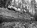 Asian woods crew seated on large log, Nehalem Timber & Logging Company, Scappoose, ca 1922 (KINSEY 2437).jpeg