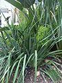 Asparagales - Dietes iridioides 1.jpg