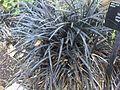 Asparagales - Ophiopogon planiscapus 2.jpg