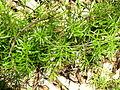 Asparagus aethiopicus habit1 (11971046243).jpg