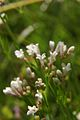 Asperula cynanchica PID1312-2.jpg
