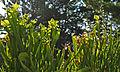 Asst. Sarracenia (9180924032).jpg