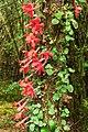 Asteranthera ovata (3163923562).jpg