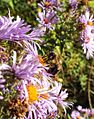 Asters and bees (21836017832).jpg