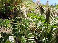 Astragalus alpinus (6120425037).jpg