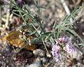 Astragalus ceramicus var ceramicus PFNP.jpg